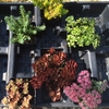 low growing Sedum<br>COLLECTION