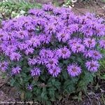 "monarda Blue Moon [20""]<br>^^^ SOLD OUT ^^^"