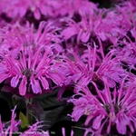 monarda Leading Lady Plum