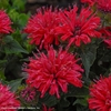 "monarda Pardon My Cerise [14""]<br>^^^ SOLD OUT ^^^"