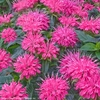 "monarda Pardon My Pink [10""]<br>^^^ SOLD OUT ^^^"