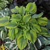 hosta One Last Dance<br>^^^ SOLD OUT ^^^