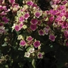 "phlox Aureole [20""]<br>^^^ SOLD OUT ^^^"