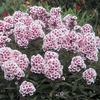 "Phlox Bright Eyes [36""]"
