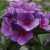 "phlox Double Hitter [36""]<br>^^^ SOLD OUT ^^^"