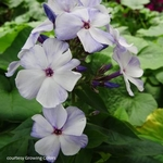 "phlox Flame Blue [16""]"