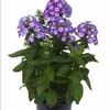 "phlox Flame Purple Eye [18""]"