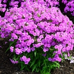 "phlox Forever Pink [16""]<br>^^^ SOLD OUT ^^^"