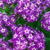 "phlox Laura [30""]<br>^^^ SOLD OUT ^^^"