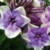 "phlox Mike's Choice [24""]"