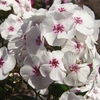 "phlox Mike's Favorite [24""]<br>^^^ COMING SOON ^^^"
