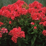 "phlox Orange Perfection [36""]<br>^^^ SOLD OUT ^^^"