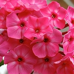 "phlox Party Punch [30""]"