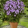 "phlox Pixie Miracle Grace [20""]"