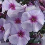 "phlox Swizzle Blue [16""]<br>^^^ SOLD OUT ^^^"