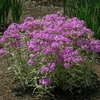 "phlox Triple Play [15""]<br>^^^ SOLD OUT ^^^"