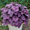 heuchera Pink Panther