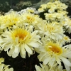 "shasta daisy Real Charmer [22""]<br>^^^ SOLD OUT ^^^"