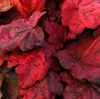 RED LEAF<br>heuchera