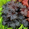 "heuchera Ruffles 'n Truffles [12""]<BR>^^^ SOLD OUT ^^^"