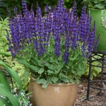 "salvia Violet Riot [24""]<br>^^^ SOLD OUT ^^^"