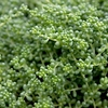 "sedum Chloroticum [2""]<br>^^^ imperfect ^^^<BR>^^^ SOLD OUT ^^^"