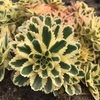 "sedum Atlantis [4-6""]<br>^^^ SOLD OUT ^^^"