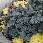 sedum Blue Elf