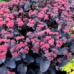 "sedum Cherry Truffle [18""]<br>^^^ SOLD OUT ^^^"