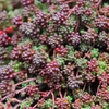 "sedum Coral Carpet [4""]<br>^^^ SOLD OUT ^^^"