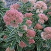 "sedum Frosted Fire [15""]"
