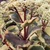 "sedum Ice Ruffles [20""]<br>^^^ SOLD OUT ^^^"