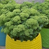 "sedum Lemonjade [18""]<BR>^^^ SOLD OUT ^^^"