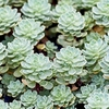 "sedum Pachyclados [4""]<br>^^^ SOLD OUT ^^^"