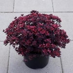 "sedum Plum Dazzled [6-8""]"