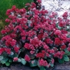 "sedum Red Cauli [12""]"