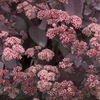 "sedum Xenox [20""]<br>^^^ SOLD OUT ^^^"
