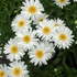 """shasta daisy Highland White Dream [30""""]<br>^^^ SOLD OUT ^^^"""