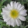 "daisy Highland White Dream [30""]"