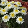 "shasta daisy Real Glory [26""]<br>^^^ COMING SOON ^^^"