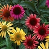 shop<br>CONEFLOWERS!