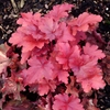 shop all<br>RED HEUCHERA