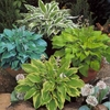shop Available<BR>HOSTAS