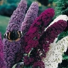 shop colorful<br>BUTTERFLY BUSHES