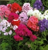 shop colorful<br>TALL PHLOX
