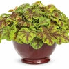 shop for more<br>HEUCHERELLA PLANTS