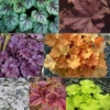 shop Heuchera by<br>COLOR