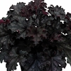 shop<br>BLACK HEUCHERA
