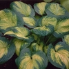 shop more<br>DARK-MARGINED hostas