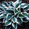 shop more<br>LIGHT-MARGINED hostas